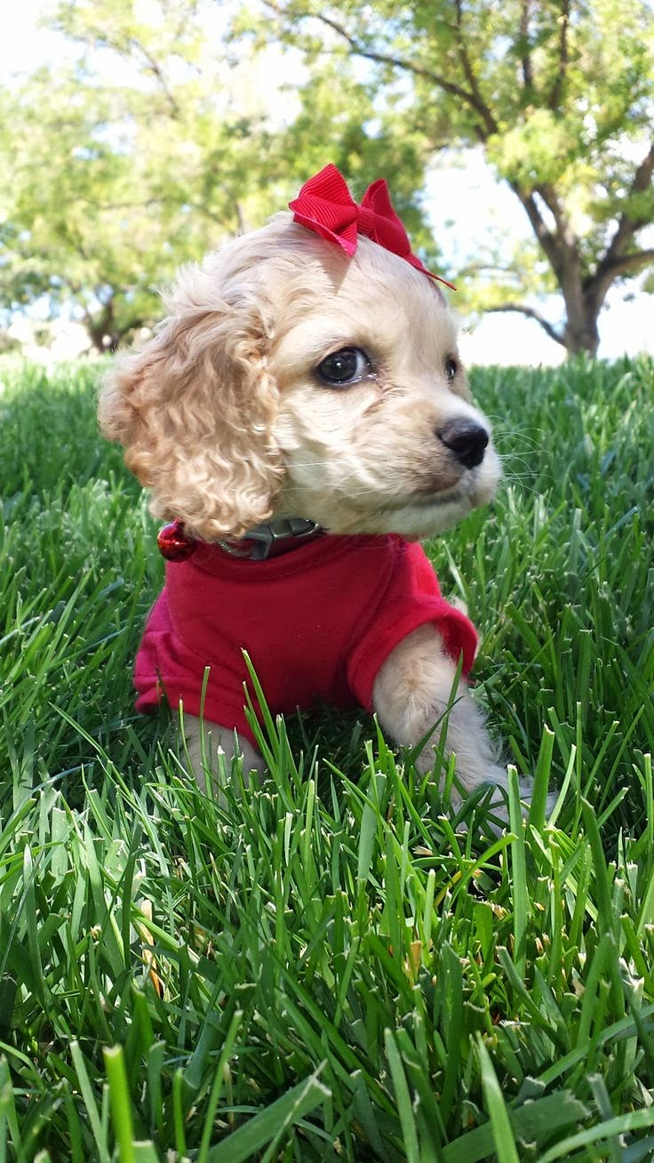 She should be in a puppy calendar right? Riley Ray! Cocker Spaniel