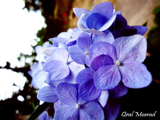 bunga-panca-warna