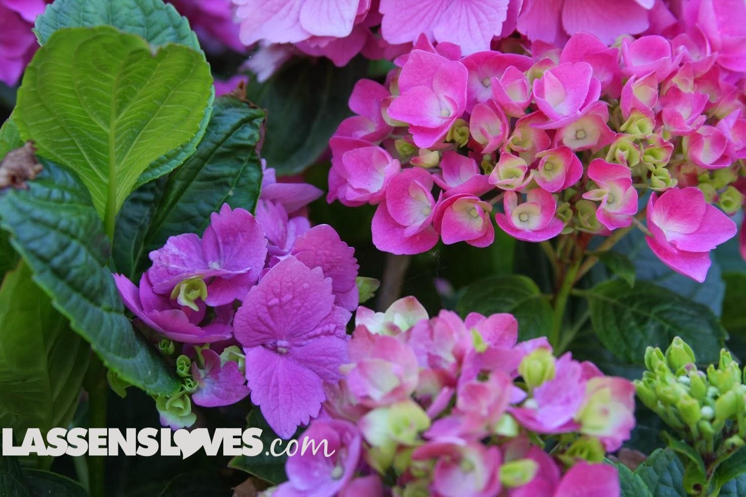 lassensloves.com, Lassen's, Lassens, Manager+Spotlight, Hydrangeas
