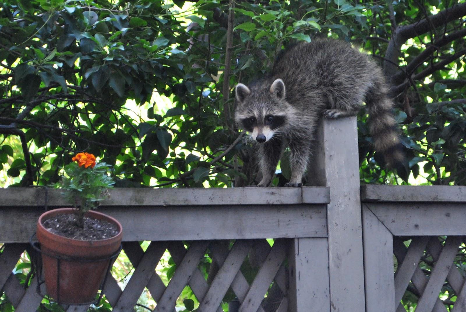 urban wildlife guide brooklyn porch raccoon