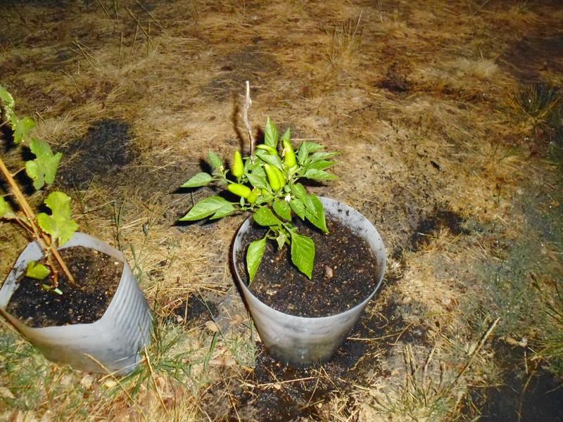 Pepper transplanting