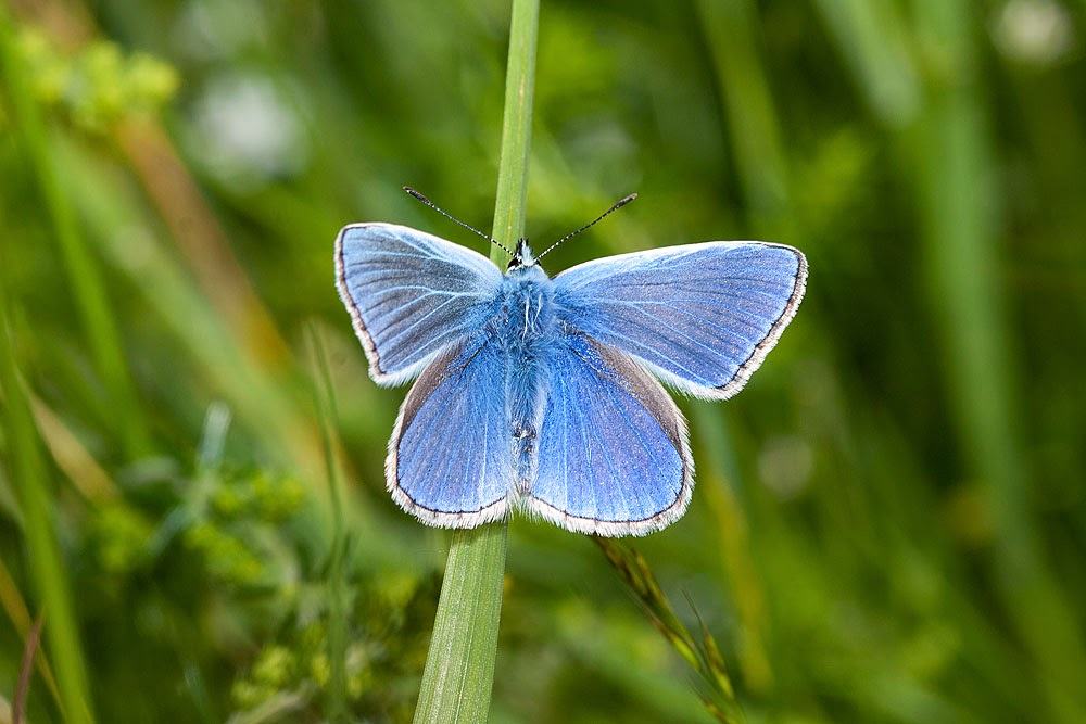 Common Blue - Loughton Valley Park, Milton Keynes (2013)