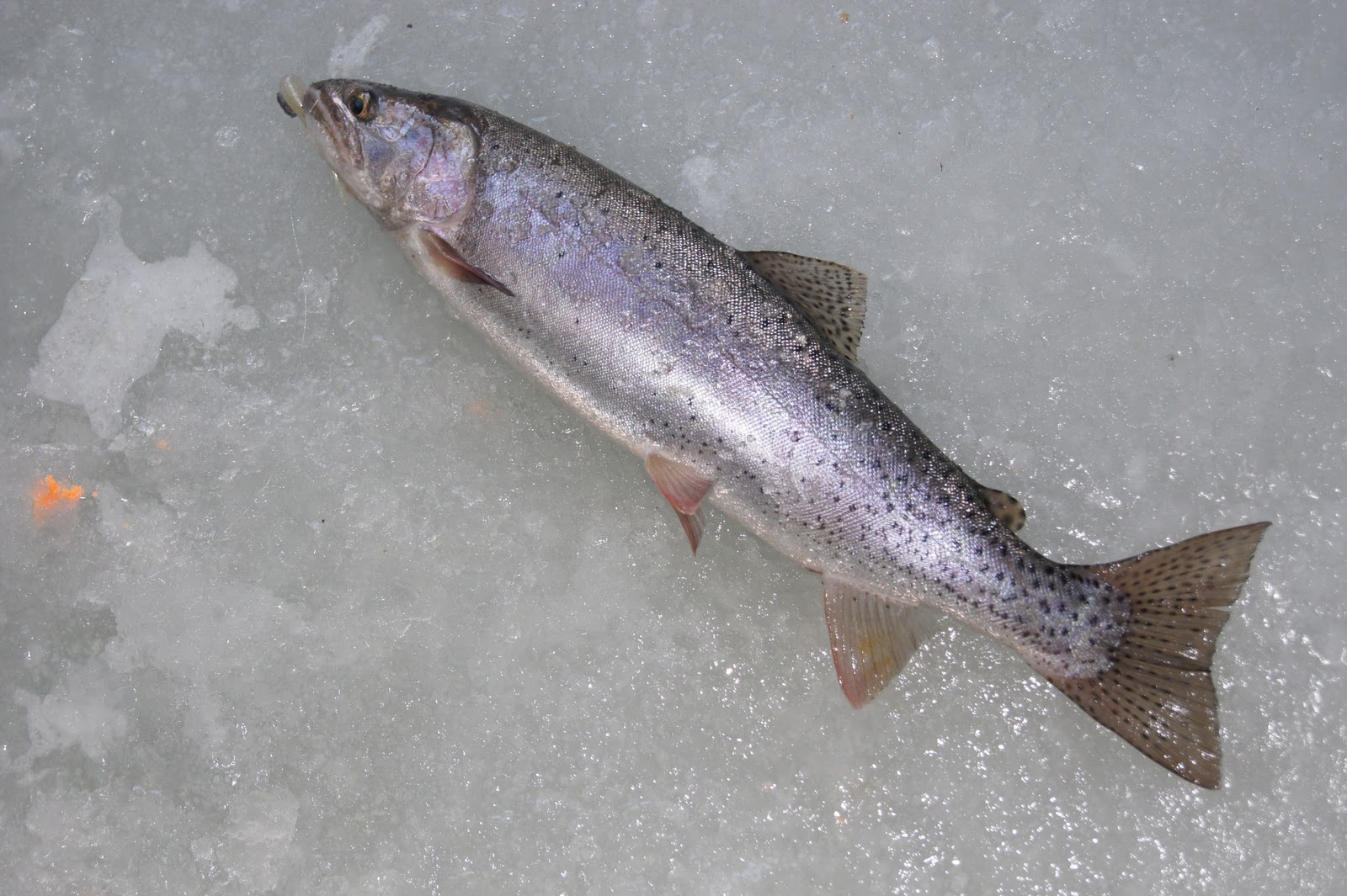 Southern utah hunt and fish panguitch lake dec 9 2011 for Panguitch lake fishing report