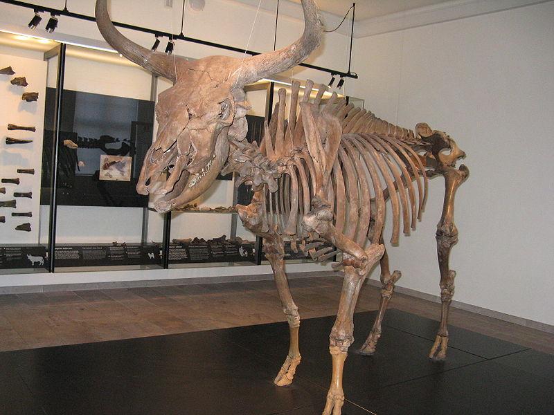Aurochs skeleton