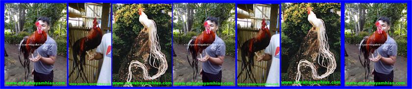 RumahAyamHias.com | Jual Ayam Hias | Ayam Hias Murah | Ayam Hias Yogyakarta