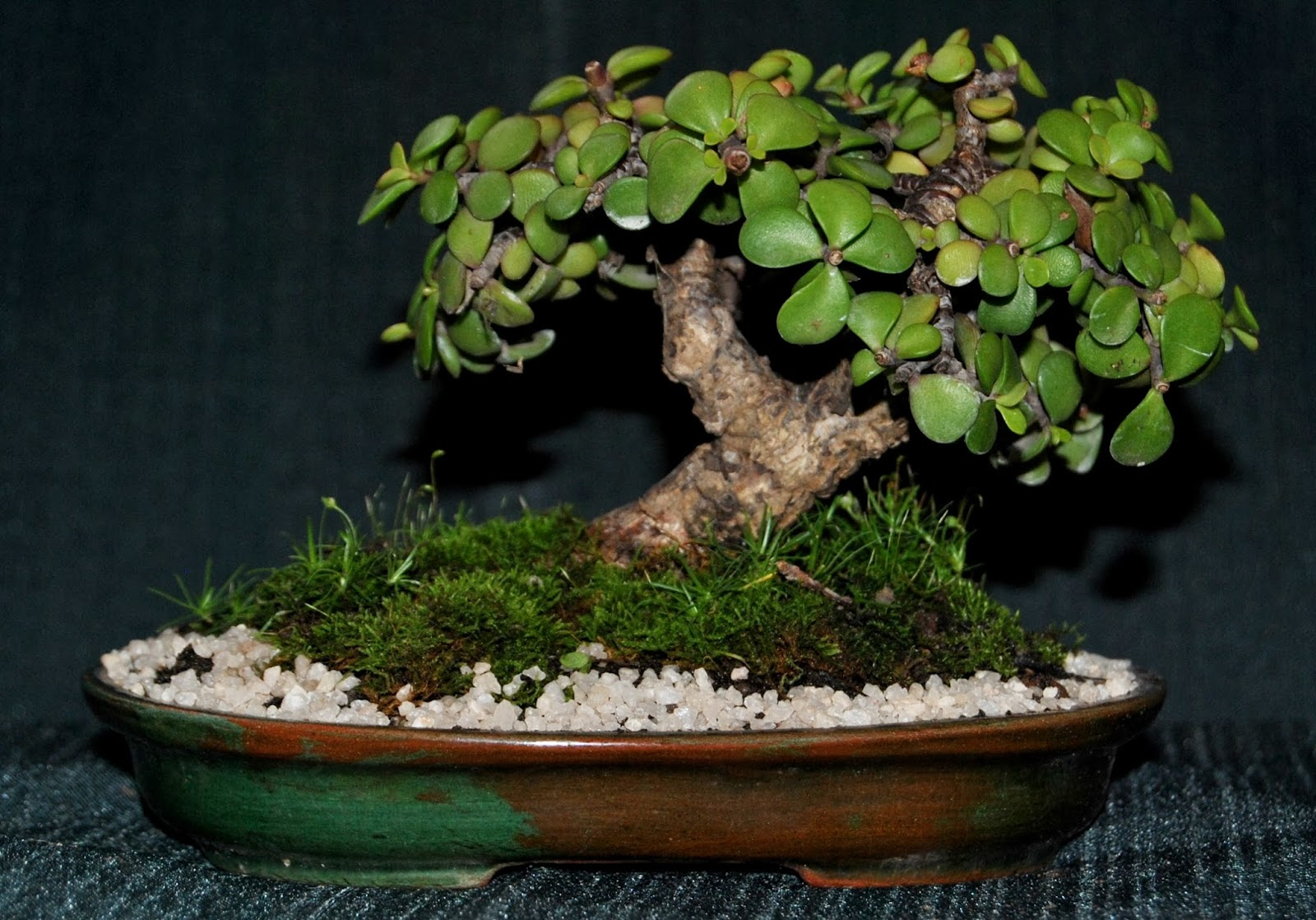 Baby Jade Portulacaria Afra Prostrate Form LENNARD39S BONSAI