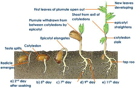 Diagram Of Germination Of Seeds Science Nutrition In Plants