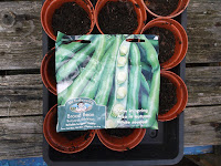 Allotment Growing - Autumn Sown Broad Beans - Bunyard's Exhibition