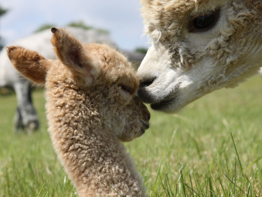 alpaca kiss   Alpacas ...