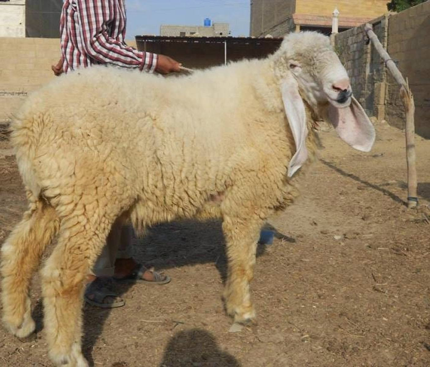 qurbani sheep - photo #41