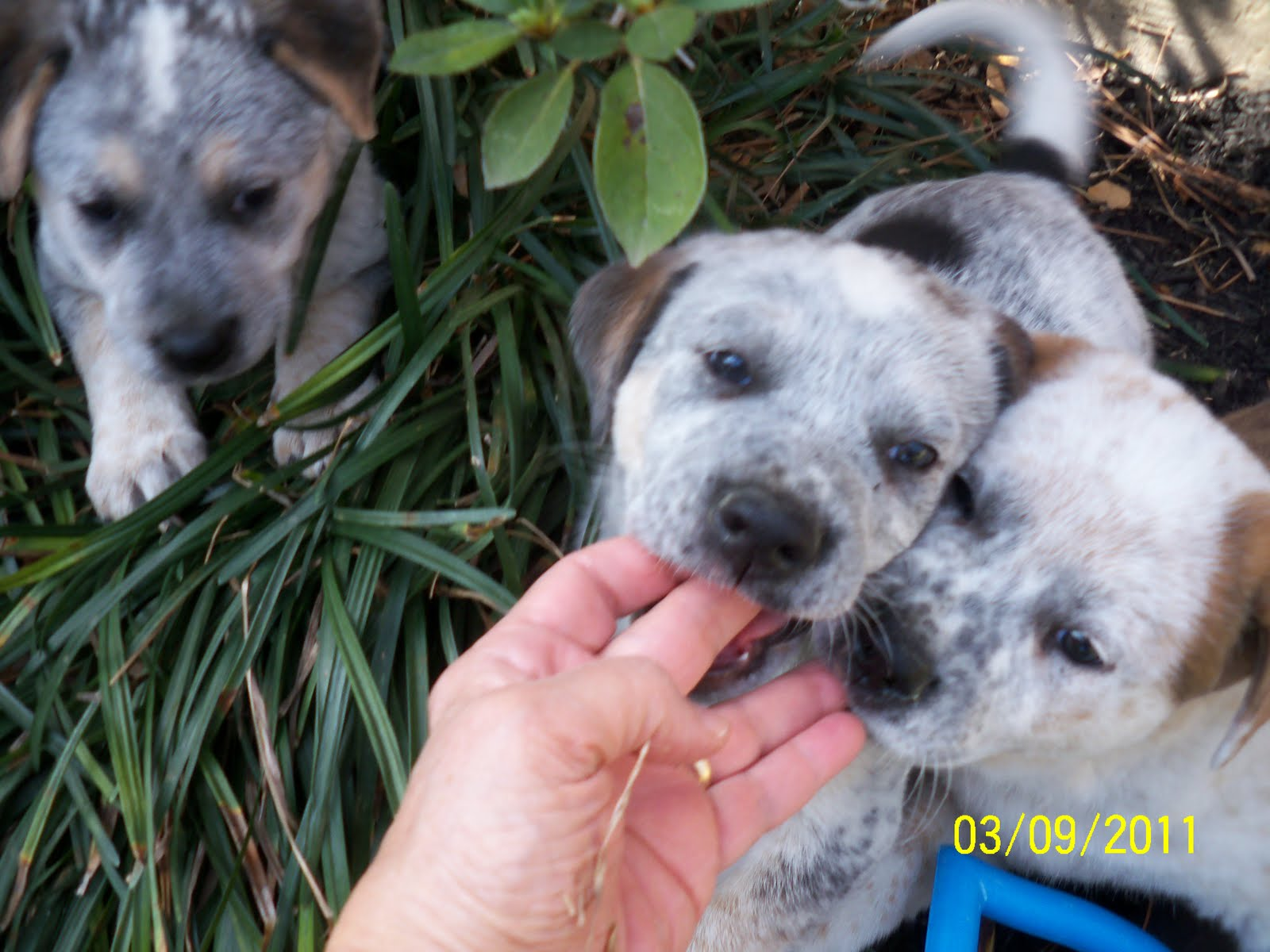 ... Lab Mix Puppies , American Bulldog Lab Mix Puppies For Sale , American