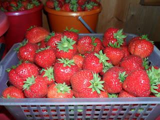 Урожай ягод клубники
