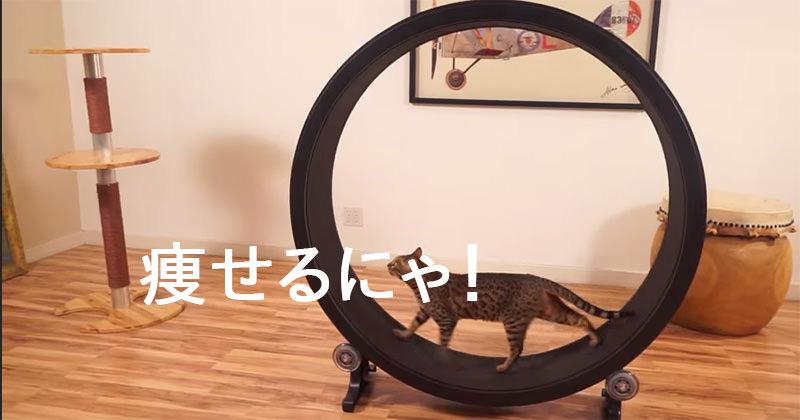ネコさんをこのワッカの中に入れたい:One Fast Cat Exercise Wheel