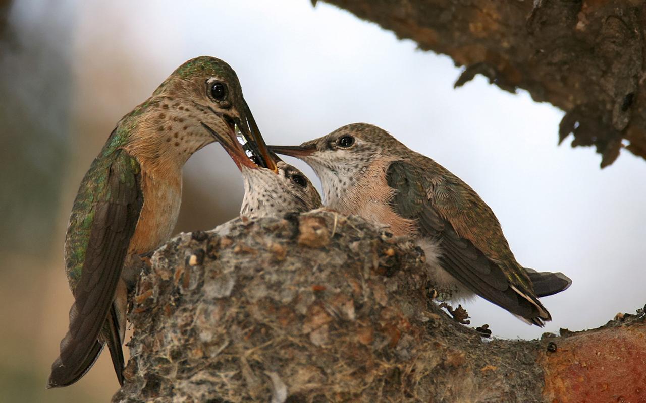 http://4.bp.blogspot.com/-6pagZwppmqA/T1iGzcE4rRI/AAAAAAAAAiw/fO4Hes3gXac/s1600/Calliope-Hummingbird_1280x800_6755.jpg