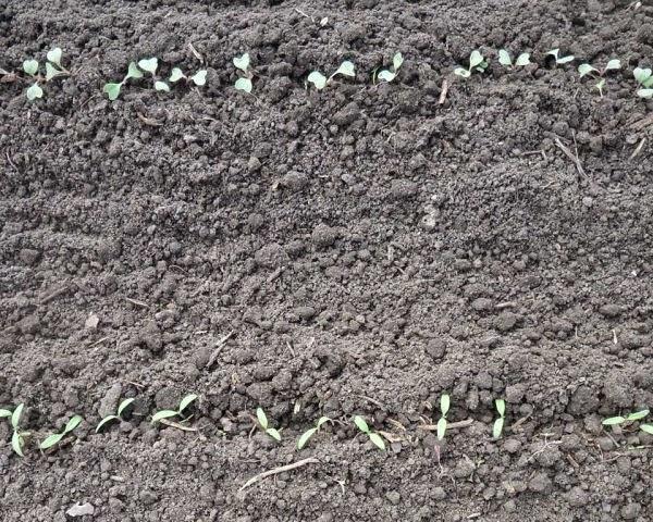 20.05 Ростки капусты и безрассадных помидорок