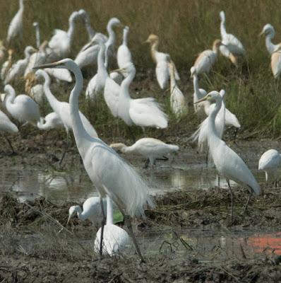 Great Egret (Ardea alba) and Intermediate Egret (Egretta intermedia)
