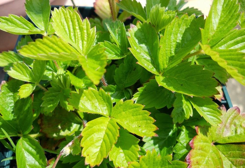 hojas de planta fresón