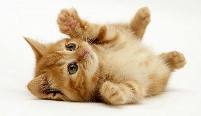 Los gatos son muy limpios