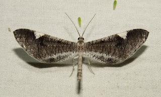 Macrosoma cf. heliconiaria