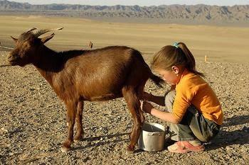 manfaat susu kambing, khasiat susu kambing, susu kambing