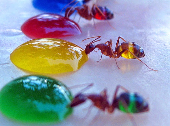 ants change colour