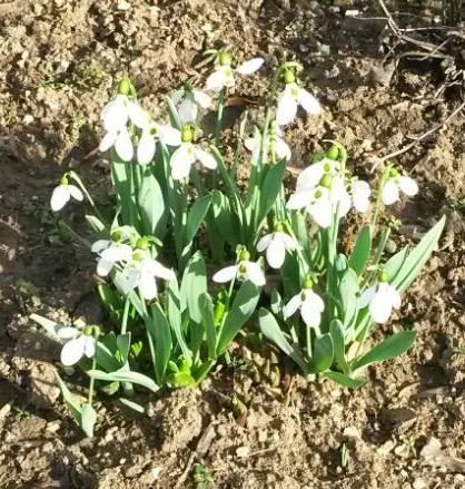Frühlingsboten erfreuen uns!