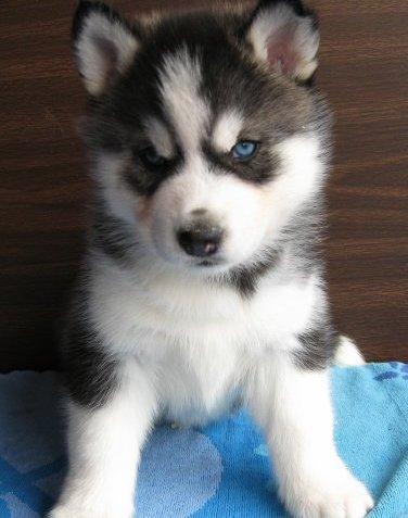 cute siberian husky puppies pictures siberian husky. Black Bedroom Furniture Sets. Home Design Ideas