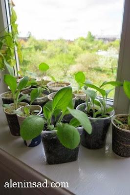 всходы, рассада, однолетняя, рудбекия, Rudbeckia, семена, пакеты семян