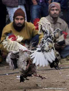 A cock fight takes place during the annual Jonbeel festival in Jagiroad about 75 kilometers (46 miles) east of Gauhati, India, 20 January 2012.