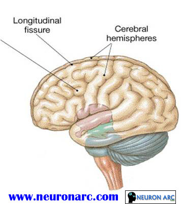 Brain and Cranial Nerves PPT