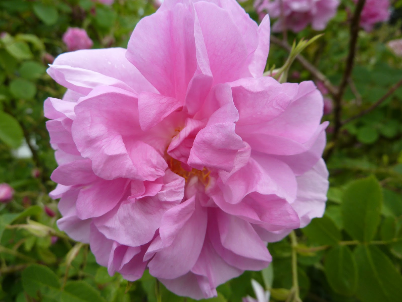 eine rose ist eine rose ist eine rose blog vivere schule f r aromatherapie und. Black Bedroom Furniture Sets. Home Design Ideas