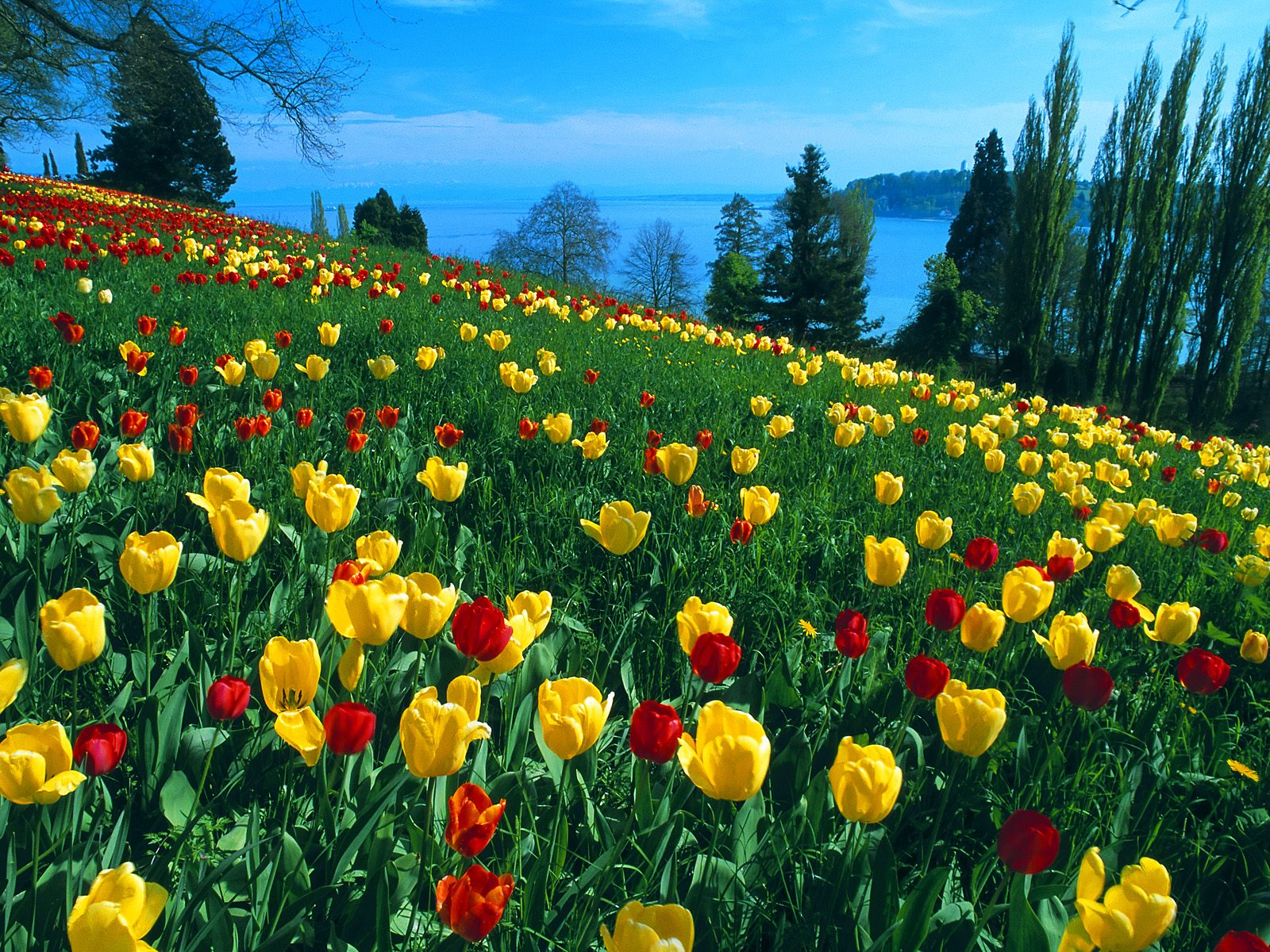 Of red and yellow tulips in spring 2011 free download wallpapers
