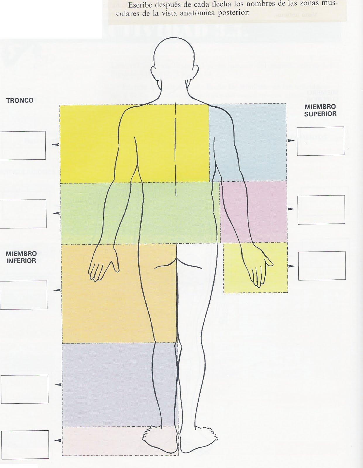 Bonito Nombres Musculares Del Cuerpo Superior Elaboración - Imágenes ...