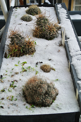 Flower box with Escobaria and Echinocereus cacti in the snow