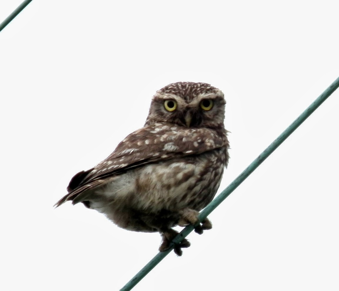 Shelf Moor    Little Owl