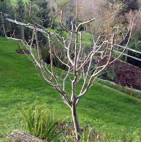 Poda de invierno de manzanos perales y membrilleros for Arboles en invierno