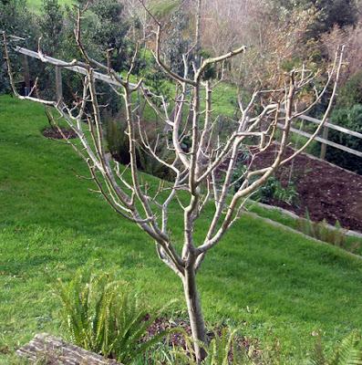 Poda de frutales de pepita setos y rosales plantas for Arboles para plantar en verano