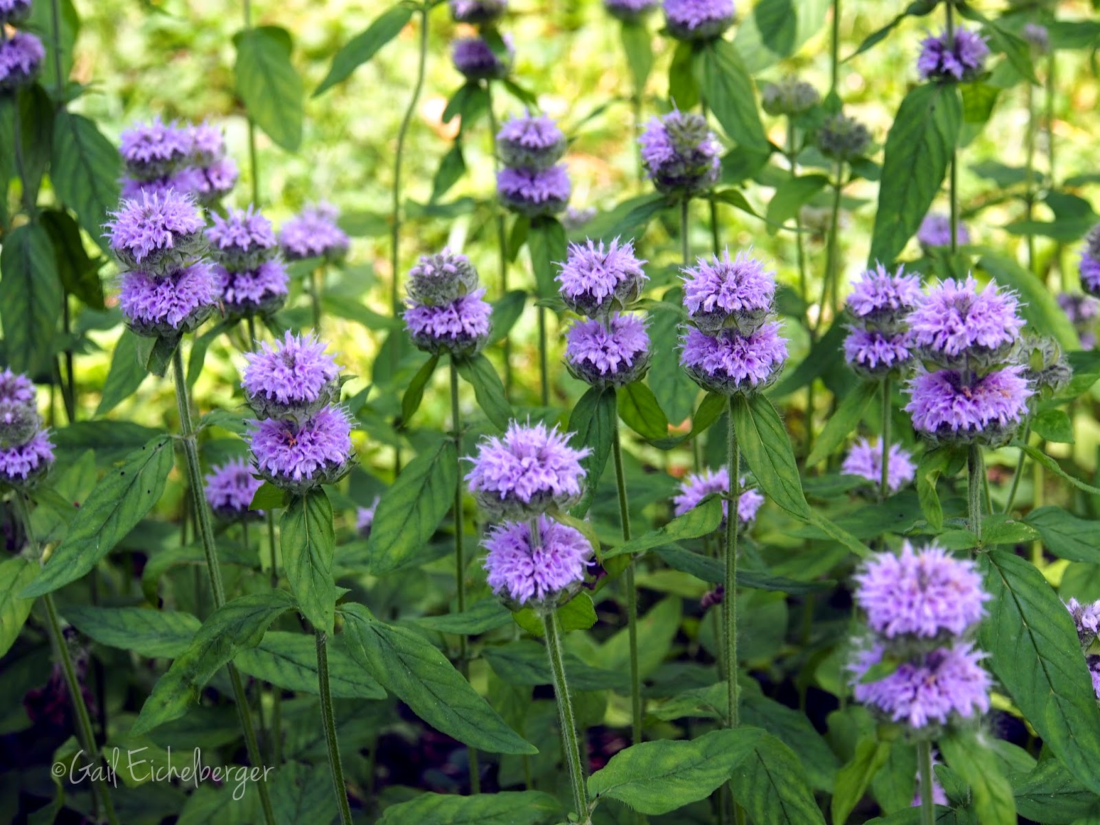 Landscaping with native plants east tennessee : Clay and limestone wildflower wednesday downy wood mint
