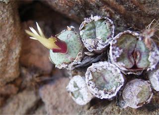Conophytum truncatum ssp. truncatum var. truncatum