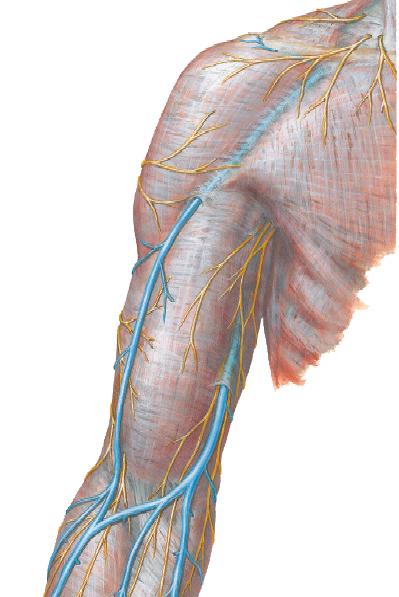 Anatomía para TODOS: MIEMBRO SUPERIOR: IRRIGACIÓN VENOSA