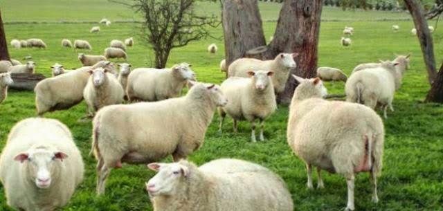 Friesland ewes