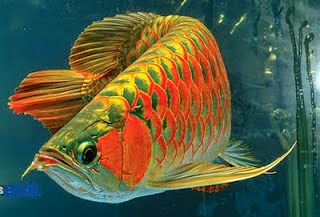 Arowanaisland Tips Penjagaan Ikan Arowana