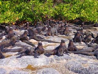 Punta Espinosa Marine Iguanas Sun Bathing, Fernandina, Galapagos