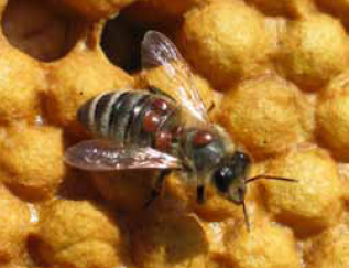 HONEY BEES: AN ADVENTURE: Are You Raising Varroa Mites?