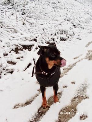 Zwergpinscher Rüde im Schnee