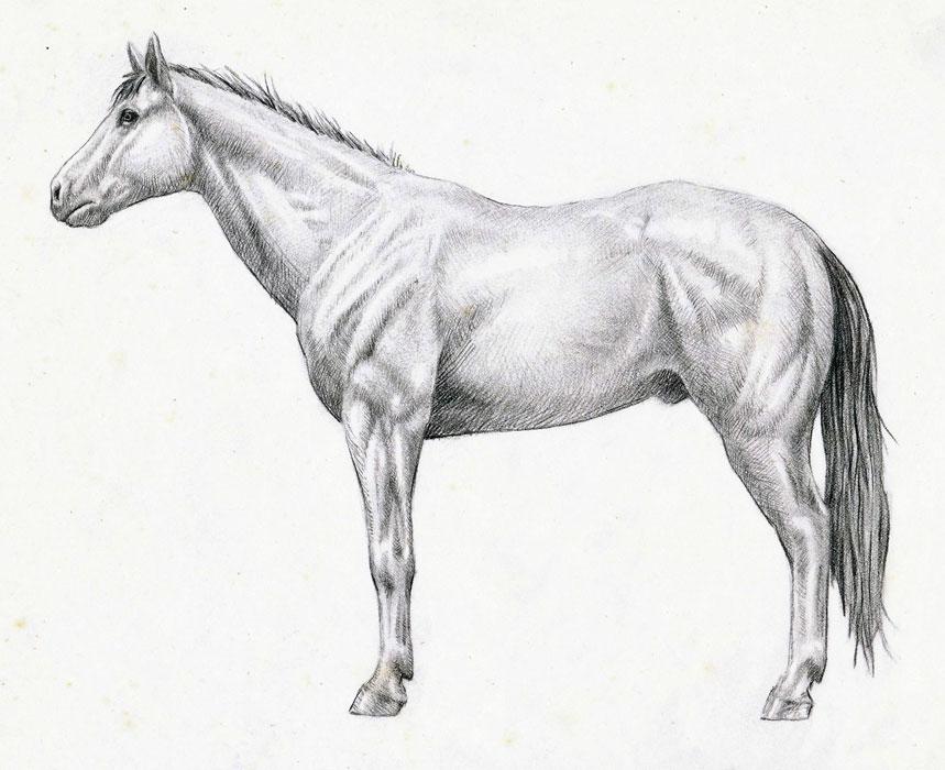 Horse Anatomy Study | Drawn Today