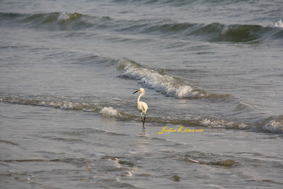 Snowy Egret at Daytona Beach Florida