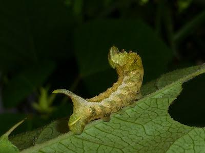 Darapsa myron caterpillar