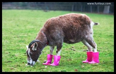 Funny Cute Goat in pink boots