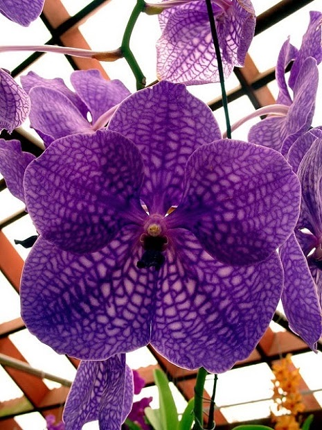 Purple Vanda Orchid Wallpaper For Android